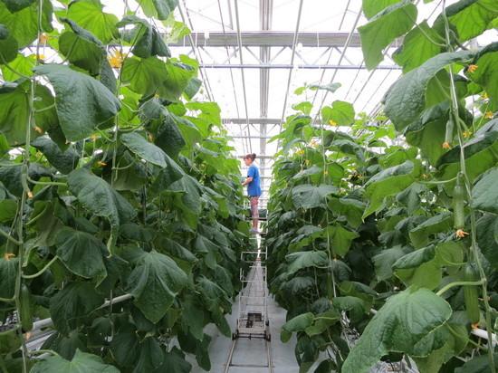 Крупнейший тепличный комбинат Алтая — в авангарде овощеводства Сибири