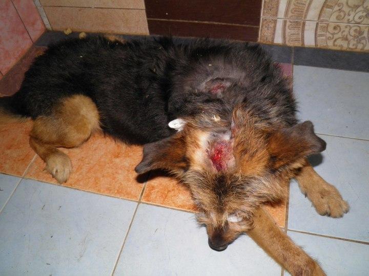 Гражданин Барнаула избил ипопытался повесить собаку набытовом проводе